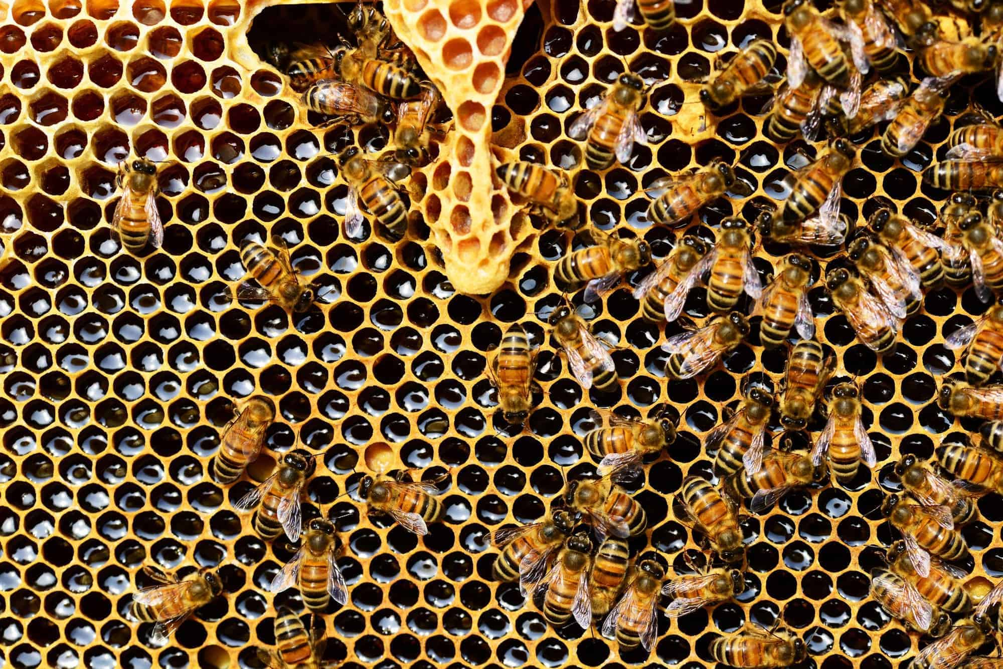 queen cup honeycomb honey bee new queen rearing compartment 56876 - What is Hydrogen Peroxide?